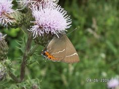 Satyrium w-album White letter hairstreak Photo: Rob Parker