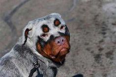 Uniquely colored Rottweiler that may be due to vitiligo, a condition that causes depigmentation. The cause of this condition is unknown.