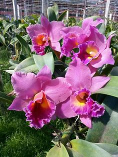 Lovely Cattleya Orchid