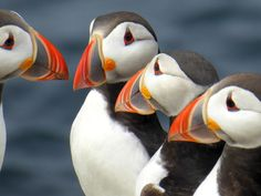 Listen very carefully, I shall say this only once / Puffins on the Farne islands, England | Flickr - Photo Sharing!