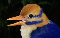 Moustached Kingfisher Photographed for First Time | Audubon