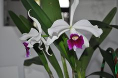 Paixão por orquídeas - Meu orquidário: Cultivo de Laelia Purpurata