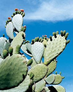 Prickly-pear+flowers+stretch+upward+in+the+home's+landscape.