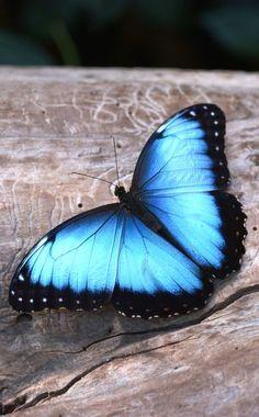 Blue Morpho #Butterfly by Regina Priske