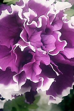 235 best purple white flowers images on pinterest gardens purple and white flower mightylinksfo