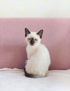 We have a new family member: Pjoes, a Siamese-Ragdoll kitten. More on… We have a new family member: Pjoes, a Siamese-Ragdoll kitten. Siamese Kittens, Cute Kittens, Cats And Kittens, Ragdoll Cats, Pretty Cats, Beautiful Cats, Animals Beautiful, Beautiful Pictures, Balinese Cat