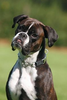 Deutscher, beautiful boxer dog, classic boxer expression!!!
