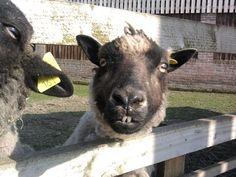 Goofy sheep i saw at a day out, had to take a picture coz it just made me laugh.