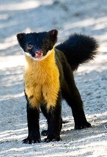 The Nilgiri marten (Martes gwatkinsii) is the only species of marten found in southern India. Little is known about the species.