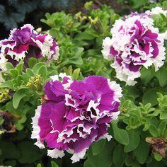 Double Purple Pirouette Petunia | Nom commun: Pétunia double 'Purple Pirouette'