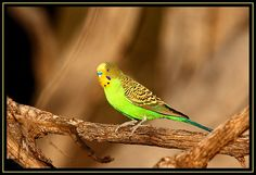 nice Budgerigar, Cocoparra NP, 30.9.09a images images
