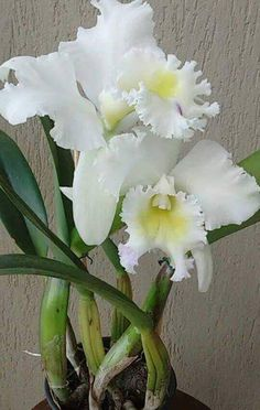 Merces Fiuza - Google+ Exotic Flowers, Tropical Flowers, Amazing Flowers, White Flowers, Beautiful Flowers, Orchid Plants, Orchids, Cattleya Orchid, Calla
