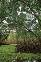 Los manglares son la formación vegetal característica de las zonas deltaicas en las regiones tropicales.