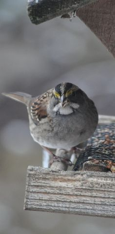 I see you little  ~White Throated Sparrow~