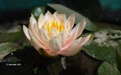 Here is my latest Punjabi poem in Gurmukhi and Romanized I wrote, inspired by an image of Lotus flower(Kanwal Phull) posted on my facebook by photographer and writer Janmeja Singh Johl