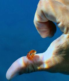 Photo by Rainbow Warrior. A cute tiny baby octopus 🐙. Tiny Octopus, Little Octopus, Cute Octopus, Cute Baby Animals, Animals And Pets, Funny Animals, Cutest Animals, Funny Babies, Cute Babies