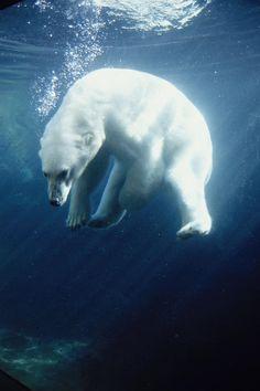 Polar Bear Swimming Underwater - Alaska by Steven Kazlowski ~ What an amazing shot