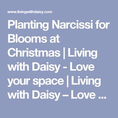 Planting Narcissi for Blooms at Christmas | Living with Daisy - Love your space | Living with Daisy – Love your space