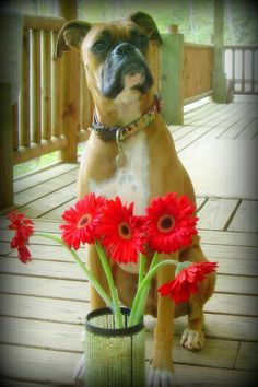 2 of my favorite things. Boxers and Gerber daisy's