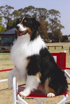 Tricolor Australian Shepherds are the healthiest breed of Aussies. Aussies live anywhere between 12 and 18 years