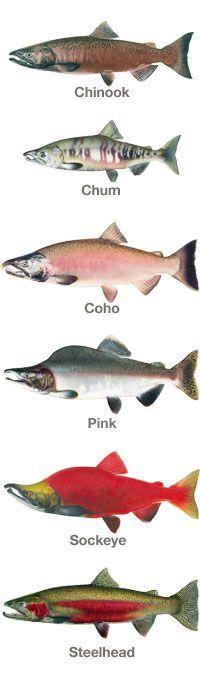 Salmon: Running the Gauntlet Salmon Fishing, Trout Fishing, Fishing Lures, Gone Fishing, Fishing Tips, Running The Gauntlet, Salmon Run, Kunst Poster, Types Of Fish