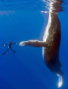 Diver's extraordinary encounter with 50ft humpback whale. This is the unbelievable moment a diver came face to face with a 50ft female humpback whale, as she swam in the South Pacific......and they exchanged a high five! :)
