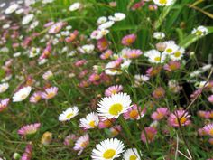 """These """"Mexican Daisies"""" are growing everywhere they can get their roots in, lovely"""
