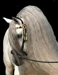 Afbeeldingsresultaat voor andalusier paarden