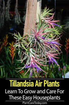 31 Best Air Plants Tillandsia Images Air Plants Plants House