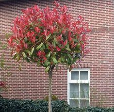 Photinia Fraseri Red Robin, Photinia Red Robin, Small Garden Landscape, Creative Landscape, Small Front Yard Landscaping, Home Landscaping, Red Robin Tree, Backyard Trees, Flowering Trees