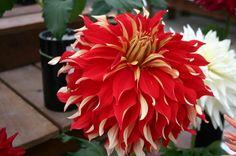 Dahlia - Google Search  www.ataglancedecor.com www.sharonrenshall.com
