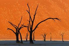 Camel Thorn Trees, Namibia: