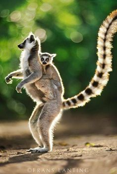 Ring-tailed lemur with baby on back