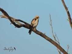 Booted Eagle, Aguililla calzada (Aquila pennata)