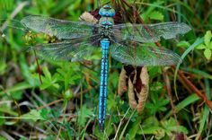 Image from http://www.dragonfly-days.co.uk/images/emperor_dragonfly2_new.jpg.