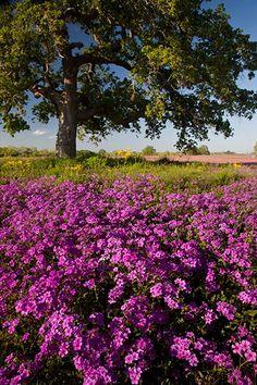 """A Multitude of Phlox""    Wilson County, Texas"