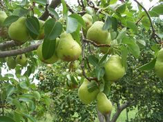 Bartlett Pear (Pyrus communis) is the common grocery store pear and the most commonly planted pear tree in North America. Bartlett produces a medium to large, green-golden yellow, typically tear-drop shaped fruit.