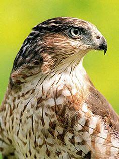 "The handsome ""Cooper's Hawk"" also known as ""chicken hawk"" I rest my case"