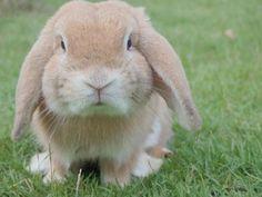 Como saber se minha coelha está grávida