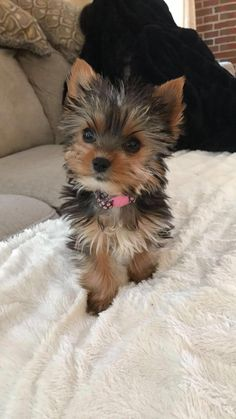 """Awesome """"Yorkshire terrier puppies"""" information is offered on our site. Take a look and you will not be sorry you did. Cute Baby Dogs, Cute Dogs And Puppies, Baby Puppies, Poodle Puppies, Yorkie Puppy For Sale, Yorkie Dogs, Yorkies, Yorshire Terrier, Yorkshire Terrier Puppies"""