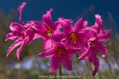 Desert Flower Names | Rhodophiala laeta, a rare magenta lily of the Atacama Desert