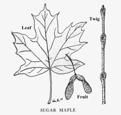 The Sugar Maple is a magnificent forest tree abundant everywhere in the state. Sugar Bush, Sugaring, Calendar, Hair Accessories, Gems, Vermont, Ranger, York, Crafts
