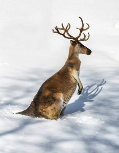 kangourou-renne