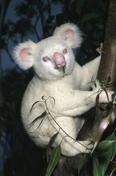 'Albino Koala' -  White Koalas are not albinos, they are merely a rare colouration. Overall colouration a creamy-white, with darker areas down the chest and on the hands and feet. The rounded head is contrasted by a large oblong, black nose. The eyes are yellow and the eyelids are pink. They live in  Eucalyptus forests in Eastern Australia. Length: 70 - 80cm Weight: 5 - 14kg
