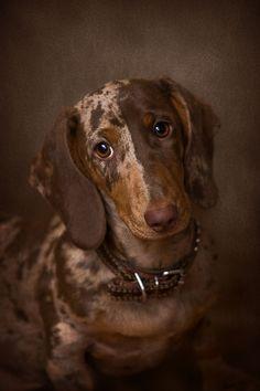 Sweet Dachshund looking sad
