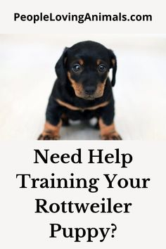 Doggy Dan's Perfect Puppy Program is the best puppy training for your Rottweiler puppy. It's effective and affordable. Puppy Training, Dog Training