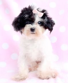 Adorable Toy Poodle Puppies by TeaCups Puppies in South Florida