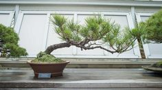 Image result for black pine 3 point display