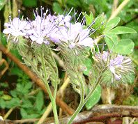 Phacelia tanacetifolia (Fiddleneck)- Hardy annual cover crop and insectary plant