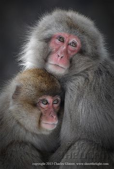 Snow Monkeys, Japan, looking tender and melancholy, by Charles Glatzer